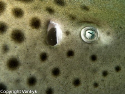 Leopard shark eye detail - it swam less than a foot from ... by Bill Van Eyk 